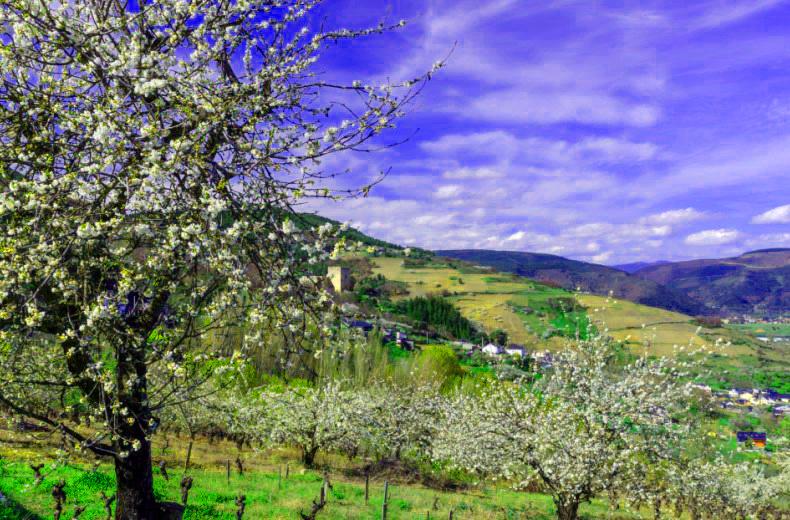 floracion-cerezos