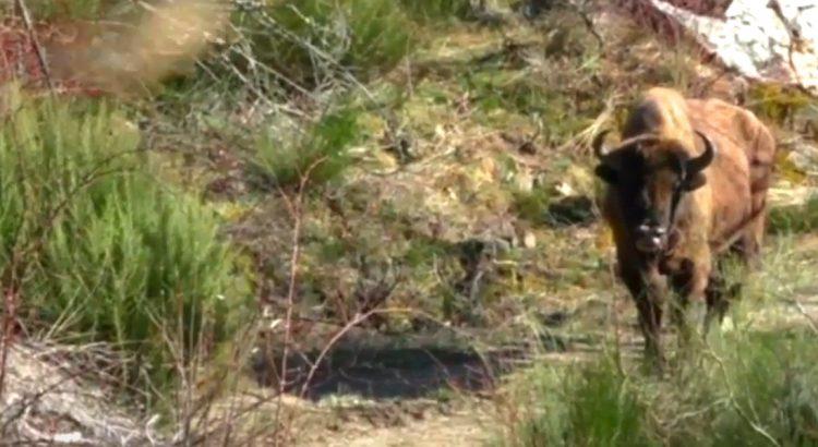 bisonte-europeo-especie-en-extincion-de-la-fauna-leonesa