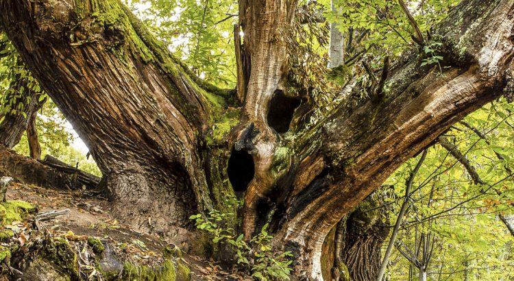 bosques-centenarios-provincia-leon