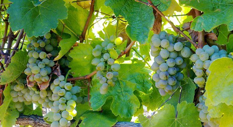 los-mejores-vinos-blancos-elaborados-leon